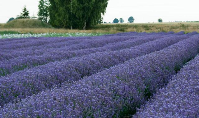Lavendel på Österlen